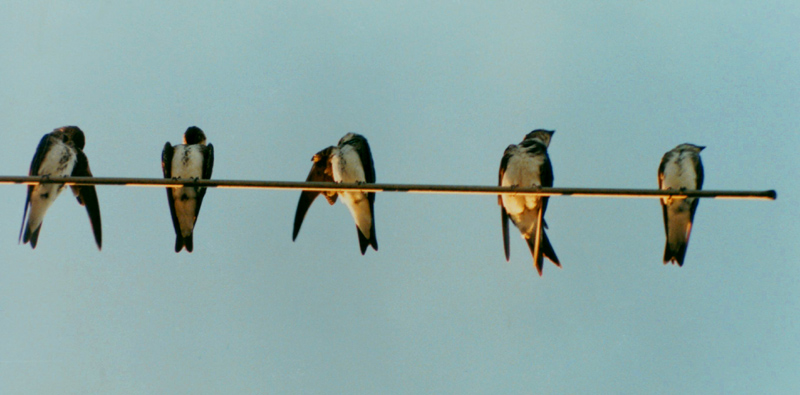 brown chested swallows