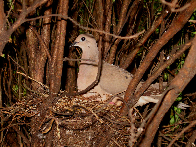 Eared dove in its nest