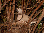 Title: Eared dove in its nest
