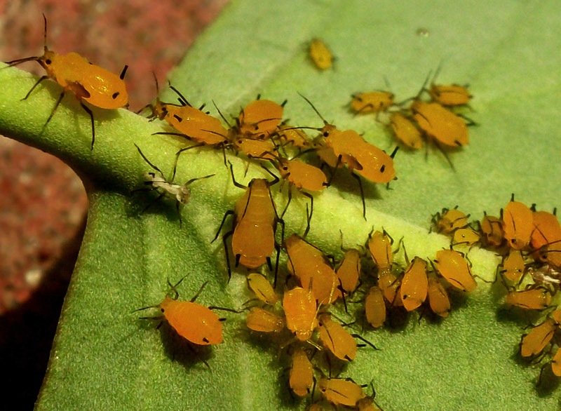 Yellow aphids