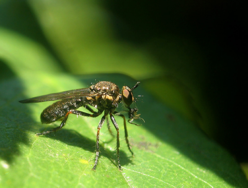 Robberfly eating a tiny fly