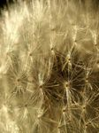 Title: Dandelion�s seeds close-up