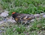 Title: Red-fronted serin