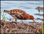 Title: Ruff Male in breeding plumage (Brushane)