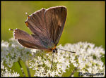 Title: Brown Hairstreak Male