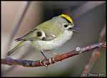 Title: Goldcrest (Kungsf�gel)Canon EOS 40 D