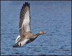 Title: Greylag on Wings ( Gr�G�s)