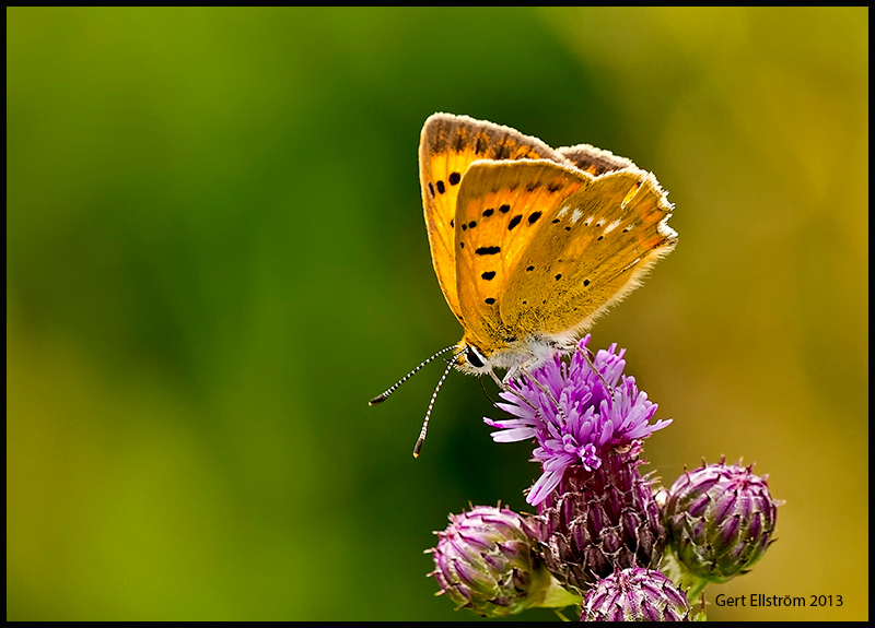 Scarce Copper Female