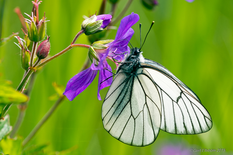 Black-veined White (Hagtornsfj�ril)