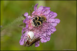 Title: Life on a Field Scabious