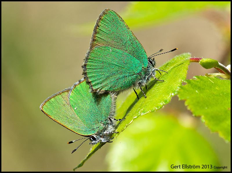 Green Hairstreaks ( Gr�nsnabbvinge)