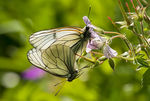 Title: Black-veined White butterflies