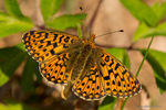 Title: Pearl-bordered Fritillary