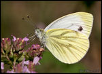 Title: Green-veined White ( Rapsfj�ril)