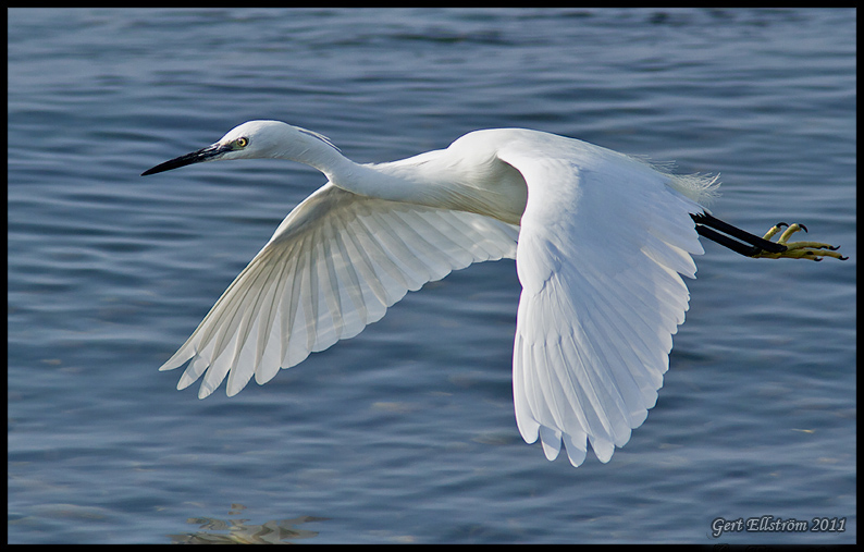 Little Egret (Silkesh�ger)