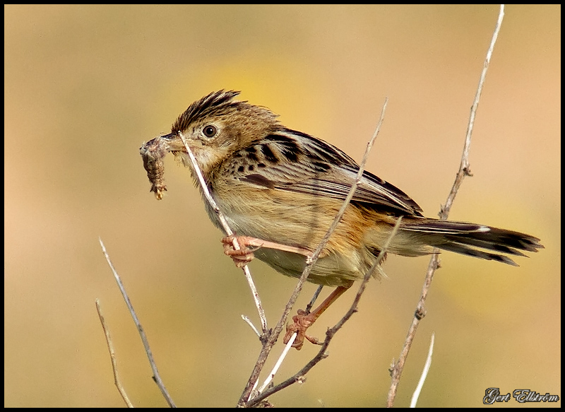 Zitting Cisticola (Gr�ss�ngare)