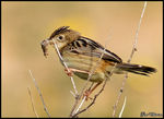 Title: Zitting Cisticola (Gr�ss�ngare)