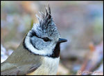 Title: Crested Tit  (Tofsmes)