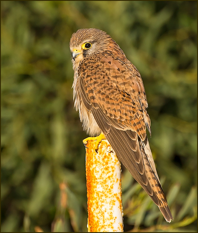 Common Kestrel (Tornfalk)