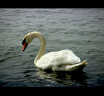 Title: The Swan...