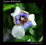 Title: Cameron Wild Orchid
