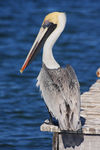 Title: Pelecanus Occidentalis