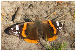 Title: Butterfly [ID] Red Admiral (V. atalanta)
