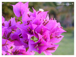 Title: lilas