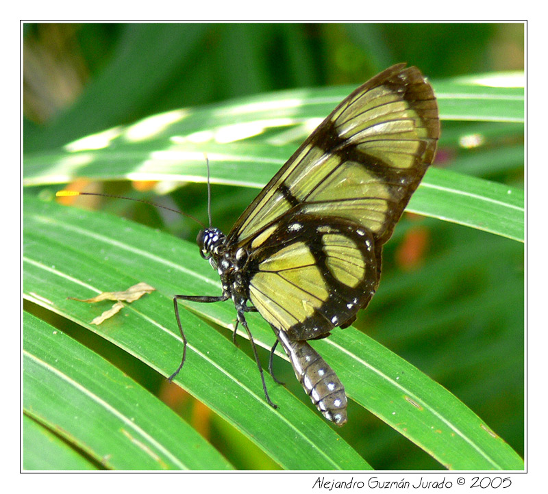 black and yellow: Heliconius genus
