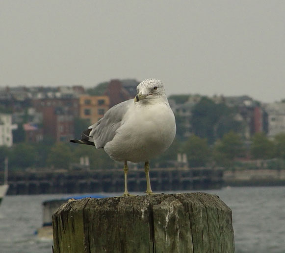 Seagull at Boston Harbor