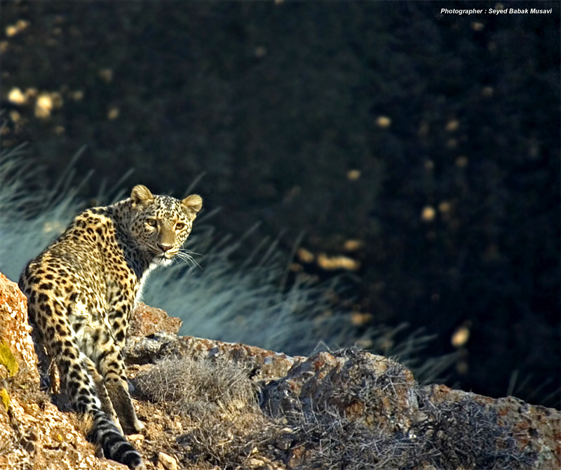 Persian leopard in wild