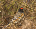Title: Red fronted serin