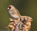 Title: Grey headed goldfinch
