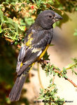 Title: White winged grosbeak