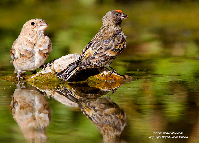 Red fronted serin , Crimson winged finch