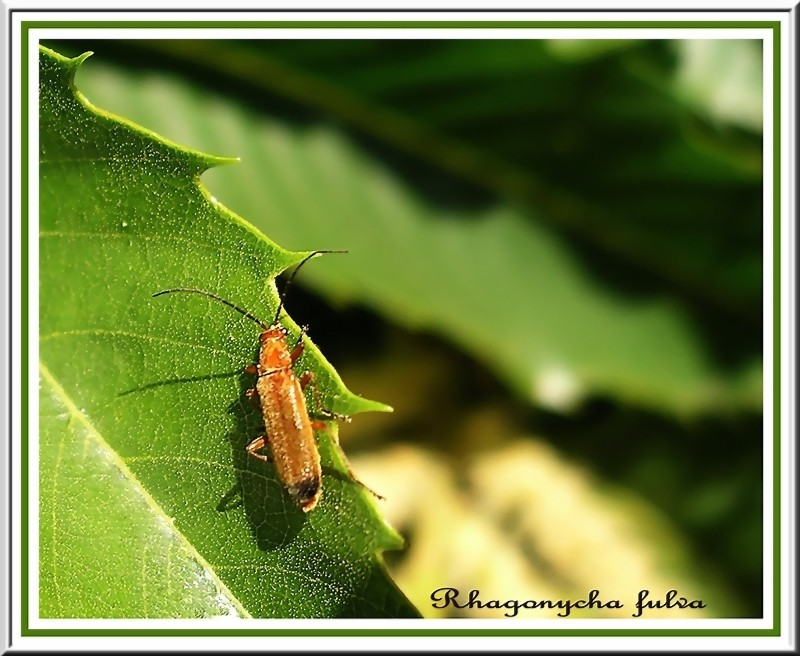Living on the Edge - Red Soldier Beetle