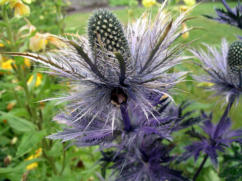Hunting for nectar in Sea Holly!