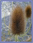 Title: The Teasel