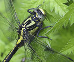 Title: Close up Club-tailed Dragonfly
