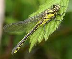 Title: Club-tailed Dragonfly