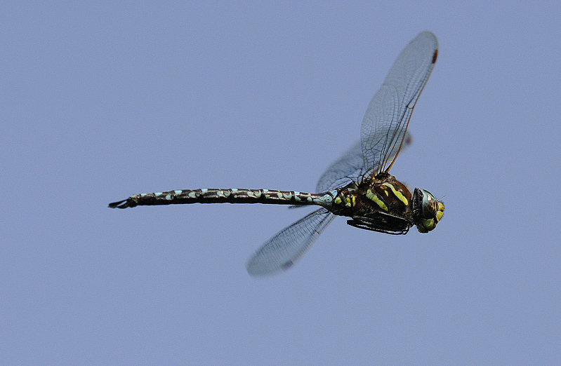 Common Hawker in the Blue Skye