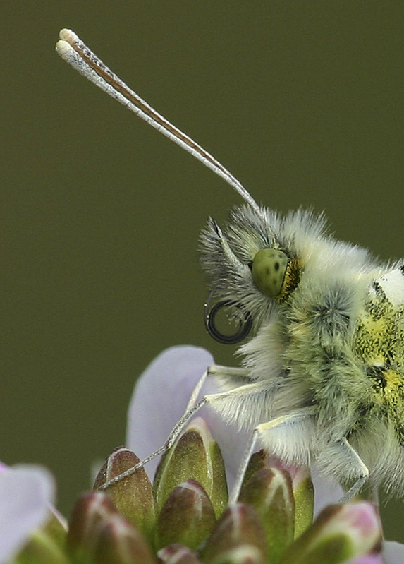 Hairy Orange Tip Anthocharis