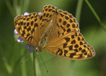 Title: Silver-washed Fritillary female
