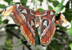 Title: Atlas Moth - Attacus atlas