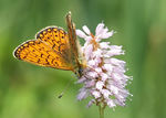 Title: Ocellate Bog Fritillary