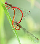 Title: Small Red Damselfly mating