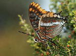 Title: Charaxes jasius - Two-tailed Pasha