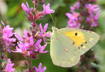 Title: Clouded Yellow - Colias croceus