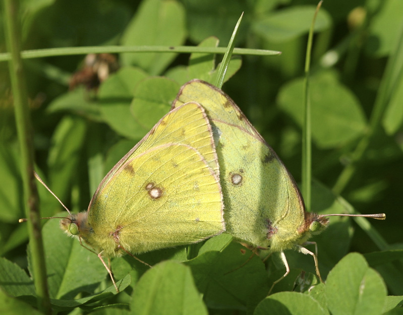 Colias hyale making love!