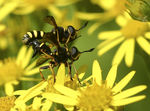 Title: Conops flavipes mating